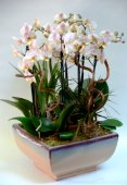 Elegant Composition with Phalaenopsis