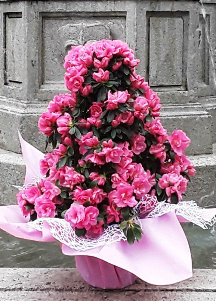 azalea ad alberello fiori de berto consegna fiori a